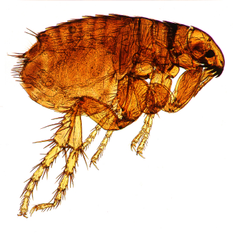 fleas an ongoing battle for pet owners horne 39 s pest control