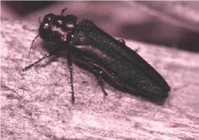 wood-boring-beetles