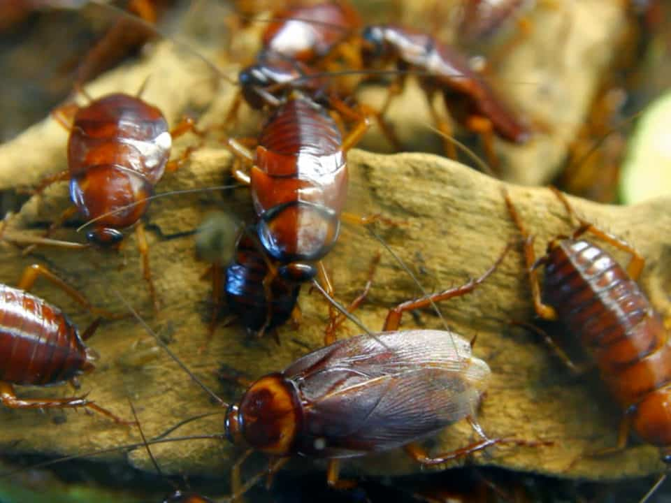 Cockroach | Contact Horne's Pest Control for your pest control services