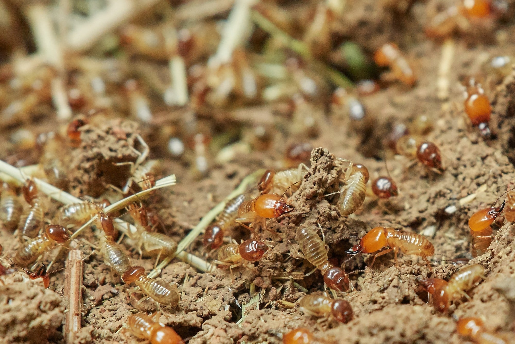 All About Termite Infestations Horne S Pest Control